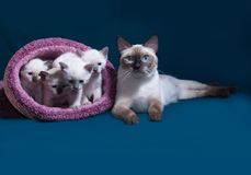 Thai cat and kittens in nest on blue Stock Photography