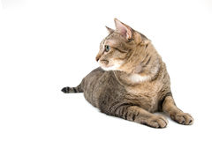 Thai Cat lay on the Floor, Side Face Stock Photo