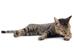 Thai cat. Licking its leg to clean up royalty free stock image