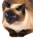 A Thai cat. The thai cat, lies in front of white background stock image