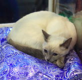 Thai cat. Lies with open eyes at the exhibition of domestic animals royalty free stock photo