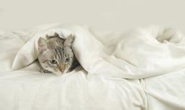 Thai cat lies under blanket on the bed. Thai cat lies under a blanket on the bed Stock Image