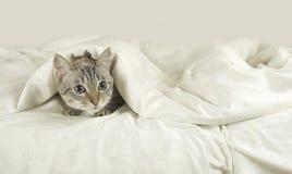 Thai cat lies under blanket on the bed. Thai cat lies under a blanket on the bed Stock Photography