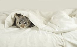 Thai cat lies under blanket on the bed. Thai cat lies under a blanket on the bed Royalty Free Stock Photography