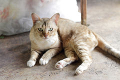 Thai cat. Look in to the camera Stock Images