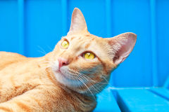 Thai cat looking up on blue background. Stock Photography