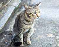 Thai cat. Lovely cat looking for somthing Stock Photo
