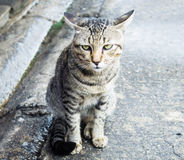 Thai cat. Lovely cat looking for somthing Stock Photography