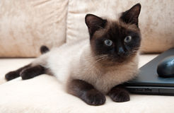 Thai cat lying on beige couch. Thai cat with gray eyes lying on beige sofa Royalty Free Stock Photography