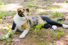 Thai Cat. A Thai Cat lying on the ground Stock Photos
