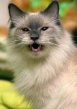 Thai cat meows stock image