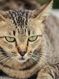 Thai Cat. My thai cat on the comfortable Royalty Free Stock Images