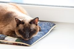 Thai cat napping on a pillow stock image