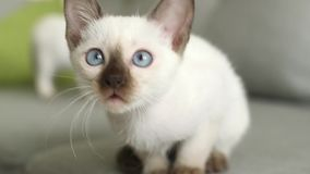 Thai cat old-type Siamese cat stock footage