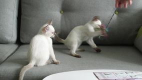 Thai cat (old-type Siamese cat) play stock footage