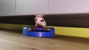 Thai cat (old-type Siamese cat) play stock video