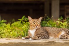 Thai Cat Pattern. Relaxing in front of the house royalty free stock photos