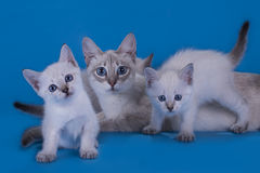 Thai cat and playful kittens on blue background  Royalty Free Stock Image