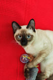 Thai cat playing with a toy on red background. Have fun with pet Royalty Free Stock Photo