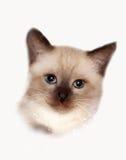 Thai cat. Portrait of the  thai cat Stock Photo