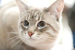 Thai   cat   portrait close-up Stock Images