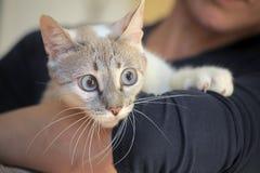 Thai cat portrait Royalty Free Stock Photos