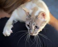 Thai cat portrait Stock Photo
