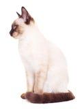 Thai Cat Portrait Stock Photography