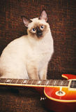 Thai Cat Portrait. Gray thai cat with blue eyes near electric guitar Stock Images