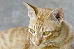 Thai cat. Portrait of lonely thai cat Stock Photo