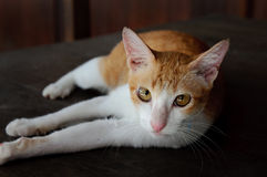 Thai cat. Portrait of a Thai cat on the Table Royalty Free Stock Photos