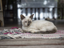 Thai Cat relax on carpet Royalty Free Stock Images