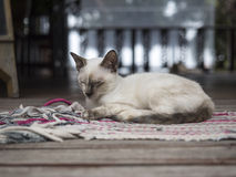 Thai Cat relax on carpet. Koh Tao, Chomphon, Thailand - Jul 11, 2014 : A Thai Cat relax on carpet Stock Image