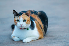 Thai cat. Relax on floor royalty free stock images