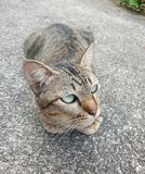 A Thai cat. This is a thai cat on the road. It is green eyes. So beautiful cat stock photography