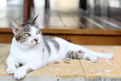 Thai cat, shot hair cat lies on the ground. Thai cat, shot hair cat lies on the ground in home and look at something royalty free stock image
