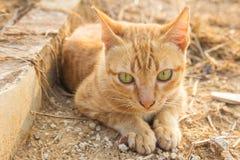 Thai cat sitting in autumn park Stock Images