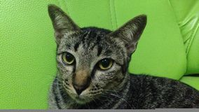 Thai cat. Sitting on green sofa stock image