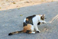 Thai cat. Sitting on road and lifting leg, So sad royalty free stock photo