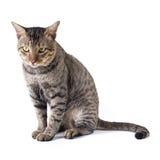 Thai cat. Sitting on white background stock photos