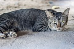 Thai cat. Sleep and seeing royalty free stock photography