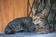 Thai cat. Sleep and seeing stock photos