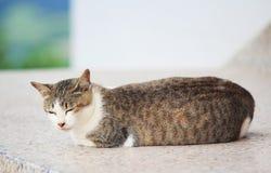 Thai cat. A sleeping Thai cat stock photo
