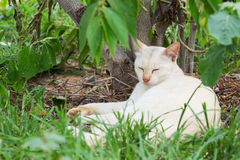 Thai cat sleeping Stock Image