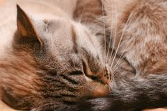 Thai cat sleeps curled into a ball in frosty weather royalty free stock photo