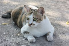 Thai cat is one breed of cat. Short hair in the tropics. royalty free stock images