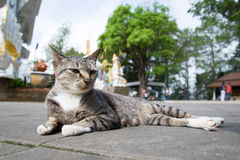 Thai Cat in the Temple Stock Photography