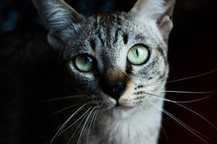 Thai cat, Thailand cat looking at camera, yellow eyes. Royalty Free Stock Photography