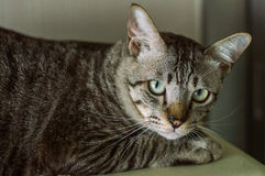 Thai cat, Thailand cat looking at camera, yellow eyes. Royalty Free Stock Images