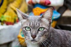 Thai Cat in thailand. Thai Cat in north thailand stock image